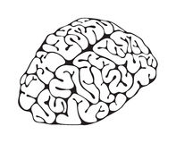 Figure brain closeup. On white background Royalty Free Stock Images