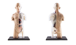 Figure Cross-Section Of Human Body. Cross-Section Diagram Of Human Body - Bones and Organs royalty free stock images