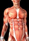 figure 3d médicale masculine montrant le torse Photos libres de droits