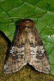 Figure of eighty (Tethea ocularis) moth Royalty Free Stock Images