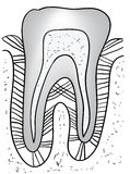 Figure tooth gum vector Stock Photography