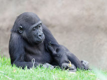 Figure of the young gorilla Stock Photos