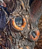 Figured Tree Bark and Knots. A detailed and figured photo of this tree replete with bark, knots and branches Stock Photos