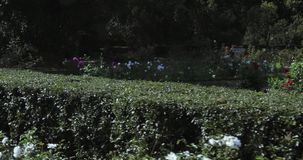 Figures from the bushes. In the city park decorative flower bushes and bushes figures stock footage