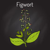 Figwort Scrophularia nodosa , medicinal and honey plant. Hand drawn botanical vector illustration Royalty Free Stock Images