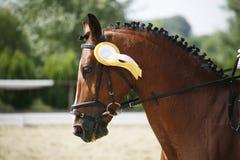 Fiirst värderar högt rosetten i dressyrhästs huvud Arkivbilder