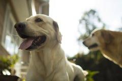 Fijación de Labradors de los perros Foto de archivo libre de regalías