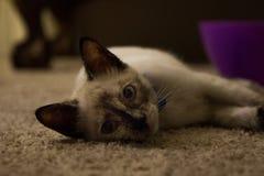 Fijación del gato Imagenes de archivo
