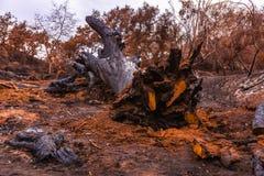 Fijación grande del roble destruida por el fuego Foto de archivo