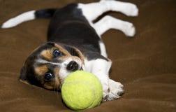 Fijación linda del perrito del beagle Foto de archivo