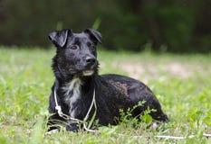 Fijación mezclada collie negro del perro de la raza Fotos de archivo libres de regalías