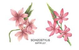 Fijado con los ejemplos de la acuarela de Schizostylis stock de ilustración