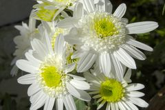 Fije de crisantemos bien iluminados fotos de archivo