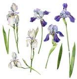 Fije de iris en un fondo blanco stock de ilustración