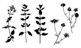 Fije de la planta herbaria del vector aislada en blanco stock de ilustración