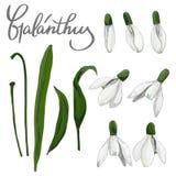 Fije de las flores del galanthus fotografía de archivo libre de regalías