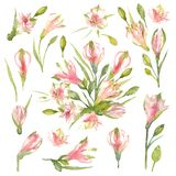 Fije de las flores, de los brotes y de los bulbos del cultivar del Alstroemeria en un fondo blanco Lirio peruano rosado Ilustraci fotografía de archivo libre de regalías