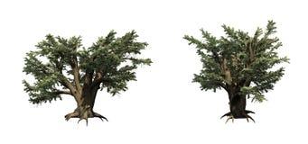 Fije de los árboles de Cedar Of Lebanon ilustración del vector