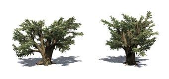 Fije de los árboles de Cedar Of Lebanon con la sombra en el piso libre illustration