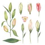 Fije de los brotes rosados del lirio del astrónomo en un fondo blanco watercolo stock de ilustración