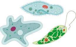 Fije de los protozoos unicelulares de los organismos: Caudatum del Paramecium, proteus de la ameba y viridis de la Euglena ilustración del vector