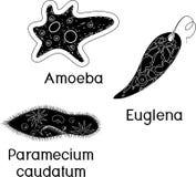 Fije de los protozoos unicelulares de los organismos: Caudatum del Paramecium, proteus de la ameba y viridis de la Euglena libre illustration