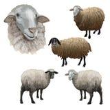 Fije de ovejas de la granja fotos de archivo libres de regalías