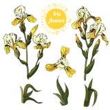 Fije de ramas y de hojas de las flores del iris amarillo Tinta exhausta de la mano y bosquejo coloreado Colección de objetos del  stock de ilustración