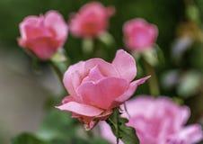 Fije de rosas con el foco al centro y al que está de sus pétalos foto de archivo libre de regalías