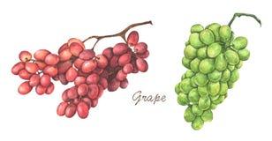 Fije de uvas rojas y verdes Ilustraci?n de la acuarela stock de ilustración
