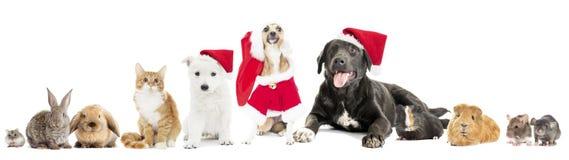 Fije el animal doméstico en un sombrero de la Navidad Foto de archivo