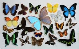 Fije la mariposa Imagenes de archivo