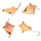 Fije la nuez seca caida amarilla de las hojas del otoño que vuela en el fondo blanco, con la trayectoria de recortes Imagen de archivo libre de regalías