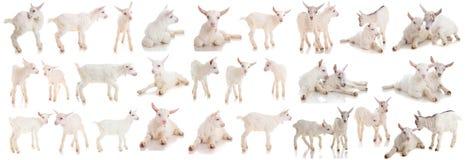 Fije a los niños de una cabra, aislados Fotos de archivo libres de regalías