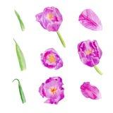 Fije los pétalos y las flores del tulipán ilustración del vector
