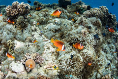 Fiji Anemonefish. (Amphiprion barberi) swim near their host anemones on a reef in Fiji. This island nation is known for its beautiful coral reefs and is a royalty free stock image