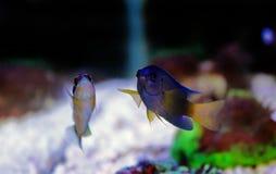 Fiji Błękitny Damselfish - Chrysiptera taupou Obraz Royalty Free