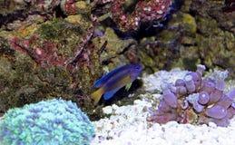 Fiji Błękitny Damselfish - Chrysiptera taupou Obrazy Stock