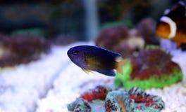 Fiji Błękitny Damselfish - Chrysiptera taupou Zdjęcie Stock