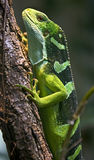 Fiji banded iguana 2 Royalty Free Stock Photo