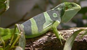 Fiji banded iguana 3 royalty free stock photo