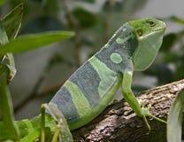 Fiji banded iguana 4 Stock Photography