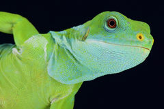 Fiji banded iguana (Brachylophus fasciatus) Royalty Free Stock Images
