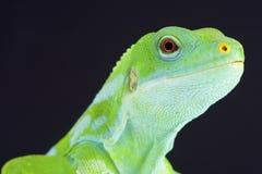 Fiji banded iguana (Brachylophus fasciatus) Stock Photography
