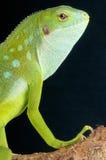 Fiji banded iguana / Brachylophus fasciatus Stock Images