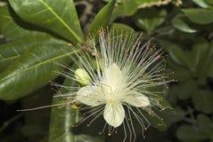 Fiji botanik fotografering för bildbyråer