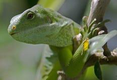 Fiji congregó la iguana 1 imagen de archivo