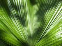 Fiji fan palm Royalty Free Stock Image