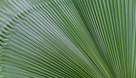 Fiji fan palm leave texture. royalty free stock image