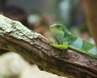 Fiji Iguana Brachylophus Fasciatus Stock Photography